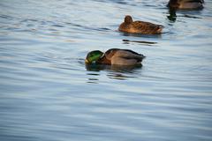 Park Lake Mallard Ducks Arrived. - stock photo