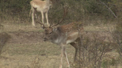 Male Fallow Deer in mountain forest Stock Footage