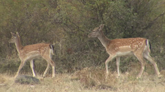 Fallow Deer in mountain forest Stock Footage