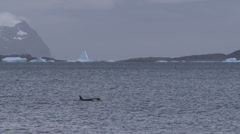 Orca hunting in freezing waters, Antarctica Stock Footage