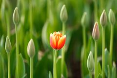 beautiful closed-up tulip and green background, chiang mai, thailand - stock photo