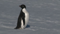 Adelie penguin stands to attention, then marches, Antarctica Stock Footage