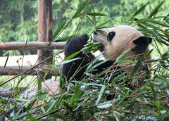 Bamboo Giant Panda - stock photo