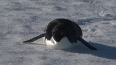 Adelie penguin lies on belly, Antarctica Stock Footage