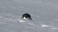 Adelie penguin goes for a slide, Antarctica Stock Footage