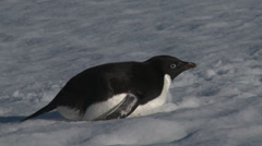 Adelie Penguin on belly, Antarctica Stock Footage