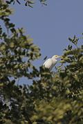 Great egret casmerodius albus on a tree, pune, maharashtra, india Stock Photos