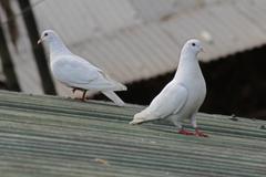 White dove, columba livia, white pigeon, india Stock Photos