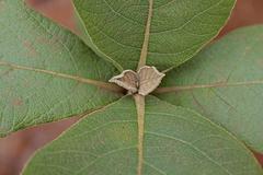 Stock Photo of teak leaf, tectona grandis l. f., verbenaceae, jati