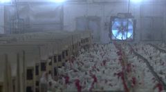 Stock footage food chicken processing chicken farms and factory Stock Footage