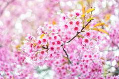 pink flower sakura of thailand - stock photo