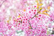 Stock Photo of pink flower sakura of thailand
