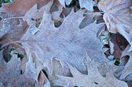 Stock Photo of Hoar froast Autum leaf