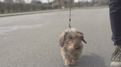 Dog is Being Walked - stock footage
