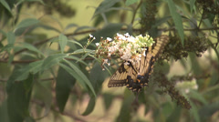 Butterfly on a Flower HD Video Stock Footage