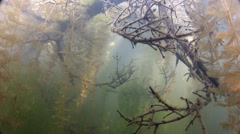 Beautiful tree overgrown with algae Stock Footage