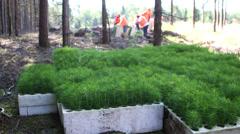 Forestry - planting tree seedlings - stock footage