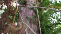 Old yew tree bark Stock Footage