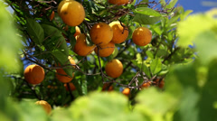 Orange trees with fruits on plantation Stock Footage