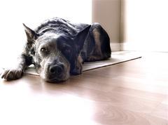 Dog lays waiting - stock photo