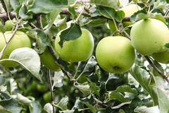 Fresh green apples - stock photo