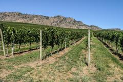 Vineyard in the Okanagan - stock photo