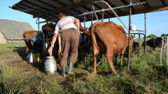 Panorama of cows group waiting for milking in farm stall Stock Footage