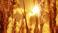 Dry Grass Blowing in the Wind at Sunset HD - stock footage