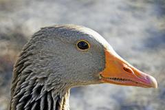 Graylag goose profile portrait Stock Photos