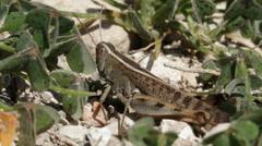 Locust heteracris littoralis Stock Footage