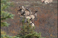Stock Video Footage of 6 large antlered caribou bulls/stags