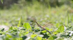 Locust truxalis nasuta Stock Footage