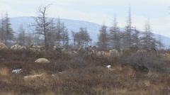 Caribou stag in herd -walking away Stock Footage