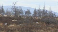 Caribou stag in herd -walking away Stock Footage