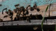Stock Video Footage of honey bees flying beehive