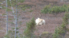 Caribou stag-1 Subclip Part 1 Stock Footage