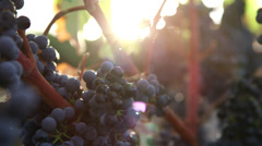 Vine grapes handheld Stock Footage