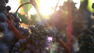 Stock Video Footage of Vine grapes handheld