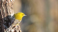 Pine Warbler - stock footage