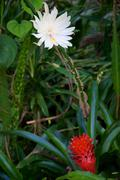 night blooming cereus and bromeliad - stock photo