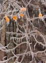 Stock Photo of ice covered branches after an ice storm.