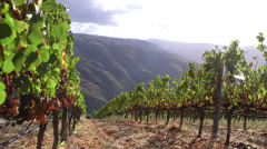 Vine plantation in Douro region in Portugal - stock footage