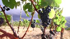 Grape vines Stock Footage
