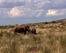 Two rhinoceros walking across a grassland Stock Footage