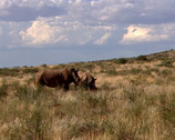Stock Video Footage of Two rhinoceros walking across a grassland
