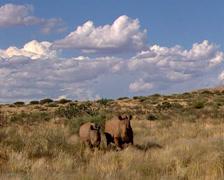 Three rhinoceros Stock Footage