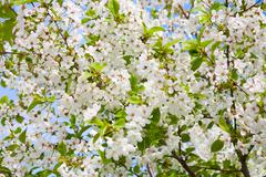 Branches of flowering apple-tree Stock Photos