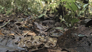 Stock Video Footage of Swarm of insects visiting animal dung on the floor of Amazonian rainforest