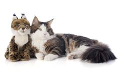 Maine coon cat and cuddly toy Stock Photos
