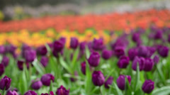 Colorful tulips in the park. Spring landscape. Stock Footage
